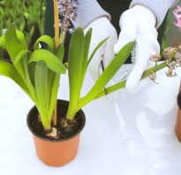 Как ухаживать за гиацинтом в домашних условиях (что делать после цветения)