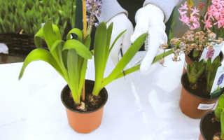 Что делать с гиацинтами после цветения (как пересаживать, хранить)