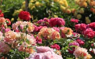 О самых неприхотливых и зимостойких сортах роз для дачи, долгоцветущие розы