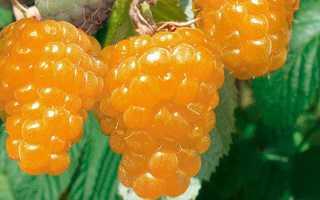 О малине Золотая осень ремонтантной: описание сорта, особенности по уходу