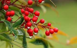 О растении бузина: где растет, описание, ядовита или нет, полезные свойства