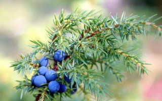 Как правильно посадить можжевельник: условия для высаживания летом и осенью