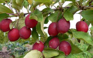 О яблоне Китайка Долго: описание и характеристики сорта, посадка и уход