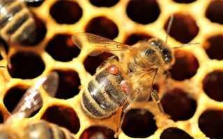 О Бипине для пчел: инструкция по применению, обработка пчел Бипином осенью