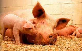 Все о породе свиней Ландрос: описание, характеристики, кормление и уход