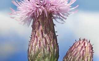 Все о васильке луговом: как выглядит, ботаническое описание, медопродуктивность