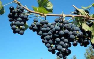 Выращивание винограда в Башкирии для начинающих: сорта, уход, как сажать