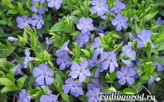 О траве барвинка: как выглядит, свойства, посадка и уход, выращивание