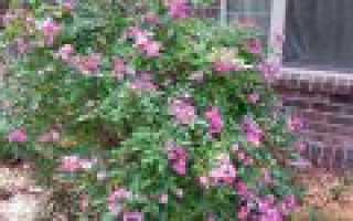 Посадка шток розы и выращивание из семян (когда сажать в открытый грунт)