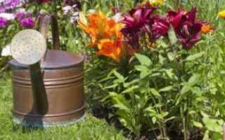 Почему у лилий отваливаются бутоны, как вылечить, если растение засыхает