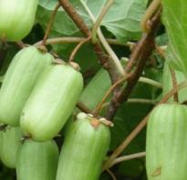 Актинидия в Подмосковье: посадка и уход, выращивание лучших сортов