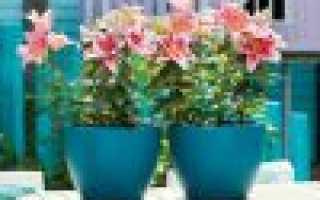Об уходе за лилиями в открытом грунте и в горшке в домашних условиях