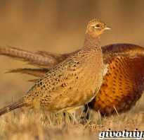 Все о фазане: что за птица, описание, как выглядит, характристики