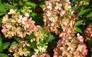 Про сорт гортензии Пастель Грин: описание сорта, как посадить и ухаживать