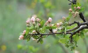 Что делать если на груше не распустились почки весной: причины, как оживить