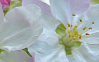 Надо ли обрывать первые цветы у яблони и что делать, если зацвела двухлетка
