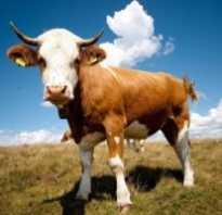 Выращивание детеныша коровы в домашних условиях (таблица веса теленка)