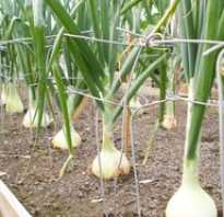 Все о посадке лука севка на Урале: лучшие сорта, сроки посадки весной