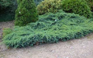 О можжевельнике Блю Свид: описание сорта, как посадить и ухаживать за растением
