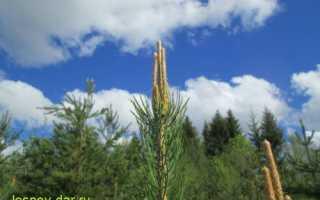 О сосновом меде: мед из молодых зеленых сосновых шишек и побегов сосны