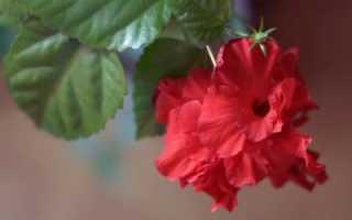 Разница между гибискусом каркаде и суданской розой: описание, свойства