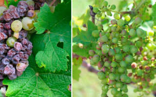 Болезни и вредители винограда: болезни листьев, вредители, грибковые заболевания