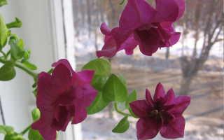 О черенковании петунии на зиму в домашних условиях: как сохранить до весны