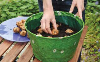 О выращивании гладиолусов в открытом грунте на даче, в горшке (агротехника)