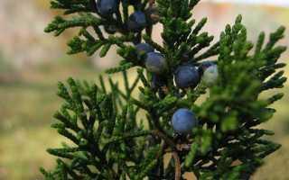 О можжевельнике виргинском: описание, как выглядит, лучшие сорта растения