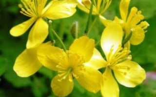 О траве чистотел: как выглядит растение, полезные свойства, где применяется