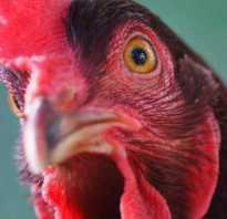 Если курицы хромают на одну ногу: как лечить куриную хромоту и другие болезни ног у птиц