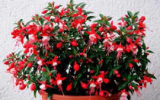 О фуксии: что за растение, описание, сорта, где используется цветок