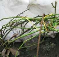 Об укрытии роз на зиму: укрывной материал, как правильно укрыть розу