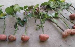 Об укоренении розы из букета в домашних условиях в картошке, выращивание