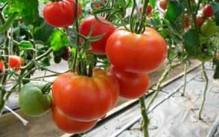 Семейный: описание сорта томата, характеристики, агротехника помидоров