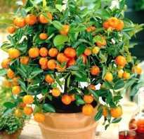 Выращивание апельсина из косточки в домашних условиях: как посадить
