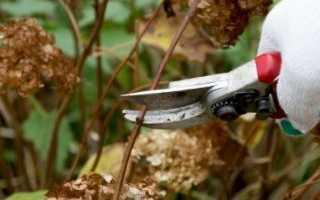 Как обрезать метельчатую гортензию осенью: руководство по обрезке на зиму