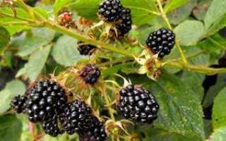 О ежевике садовой кустистой: описание и характеристики, посадка, уход, размножение