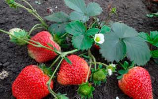 Подкормка клубники во время плодоношения: чем можно и нужно удобрять культуру