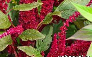Как посадить и ухаживать за цветком амарант: описание, рекомендации
