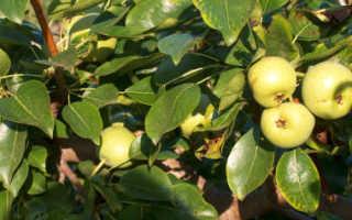 Все о сортах груш: какие подходят для посадки в северных, или южных районах
