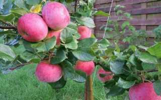 О яблоне Ауксис: описание сорта, характеристики, агротехника, выращивание