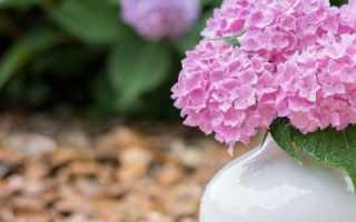 Нет цветения у садовой гортензии: что делать, как заставить растение цвести