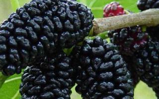 О белой шелковице: выращивание и уход в средней полосе, как посадить
