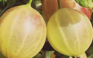 О крыжовнике Русском желтом: описание и характеристики сорта, выращивание