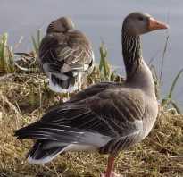 Все о породе серых гусей: описание, характеристики, выращивание птиц