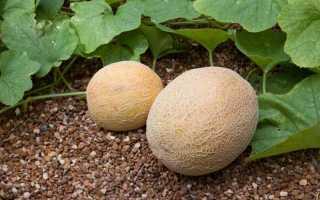 Как вырастить дыню в открытом грунте: правила выращивания в средней полосе