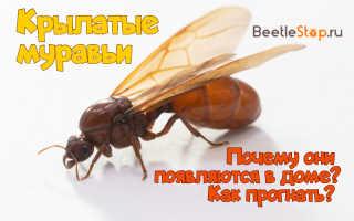 Как избавиться от летающих муравьев в доме: методы борьбы с крылатыми насекомыми
