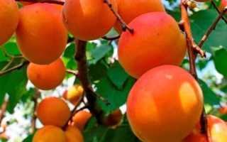 Об абрикосе Россиянин: описание и характеристики сорта, посадка, уход