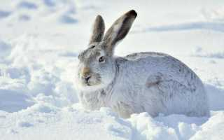 В чем отличия кролика от зайца: сходство, как определить по внешним признакам